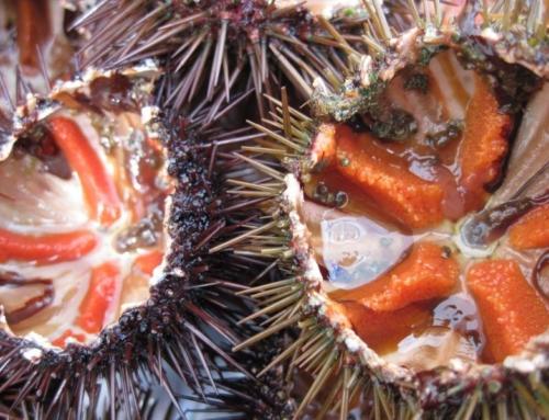 Los erizos del mar se cotizan al alza